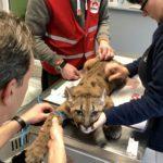31.01.2019 DE: Bizarrer Fund in Deutschland: Pumawelpe in Wohnung gehalten